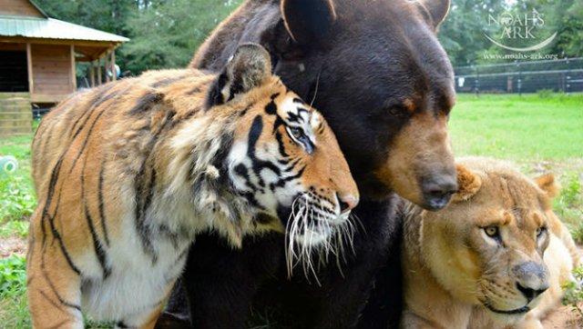 Un leu, un urs, un tigru si cea mai frumoasa prietenie - Poza 3