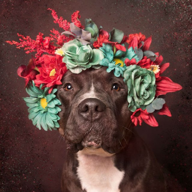 Pit Bull Flower Power: Ipostazele gingase ale cainilor de temut - Poza 12