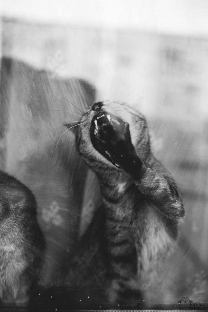 Pisici in alb si negru: Cel mai vibrant pictorial cenusiu cu feline - Poza 12