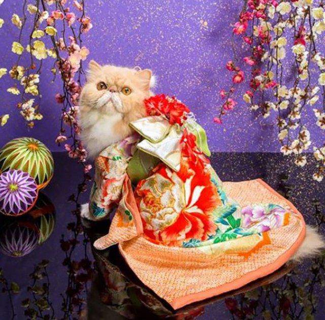 Pisicile in chimonouri fac furori in Japonia - Poza 6