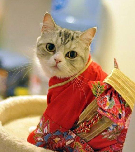 Pisicile in chimonouri fac furori in Japonia - Poza 8