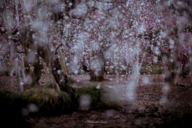 Primavara din Japonia, in cele mai frumoase poze - Poza 1
