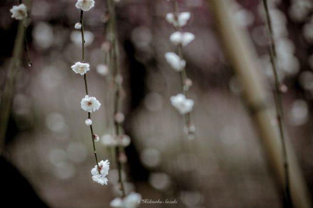 Primavara din Japonia, in cele mai frumoase poze - Poza 6
