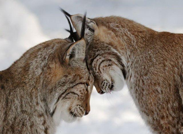 Dragostea pluteste in aer: Tandrete in lumea animala - Poza 22