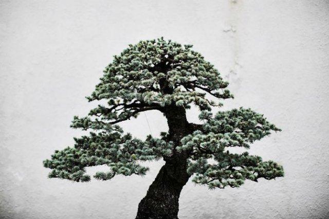 Unicitatea bonsailor, intr-un pictorial superb - Poza 18