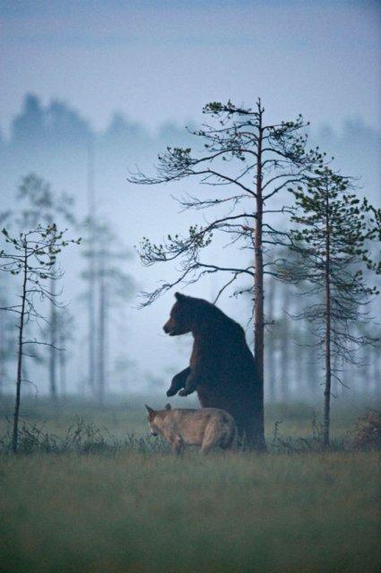 Prietenia dintre un urs si un lup, in 10 poze impresionante - Poza 10