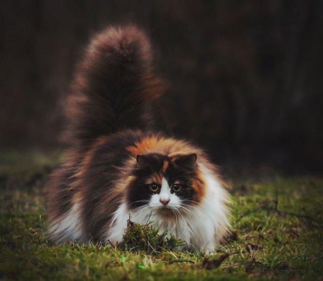 Cele mai pufoase pisici din lume - Poza 8