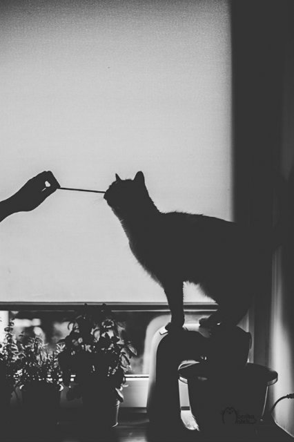 Pisici in alb si negru: Cel mai vibrant pictorial cenusiu cu feline - Poza 11