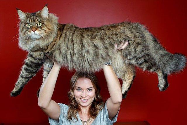 Feline XXL: Cele mai mari pisici din lume - Poza 2