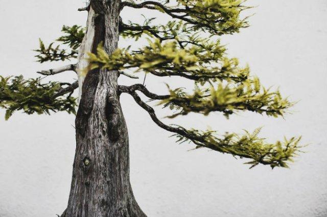 Unicitatea bonsailor, intr-un pictorial superb - Poza 17