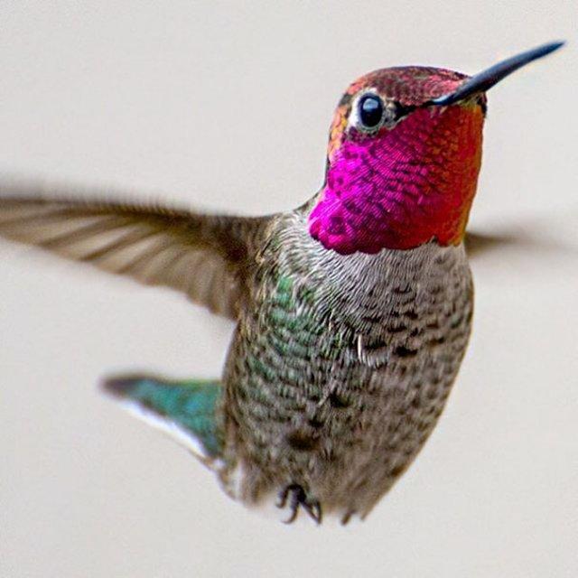 Frumusetea pasarilor colibri - Poza 9