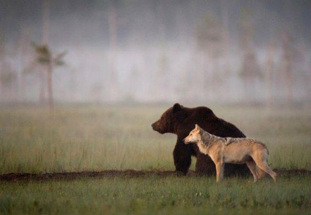 Prietenia dintre un urs si un lup, in 10 poze impresionante - Poza 1