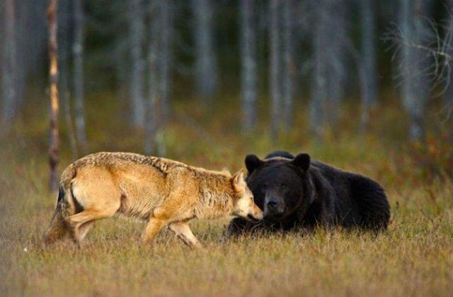 Prietenia dintre un urs si un lup, in 10 poze impresionante - Poza 2