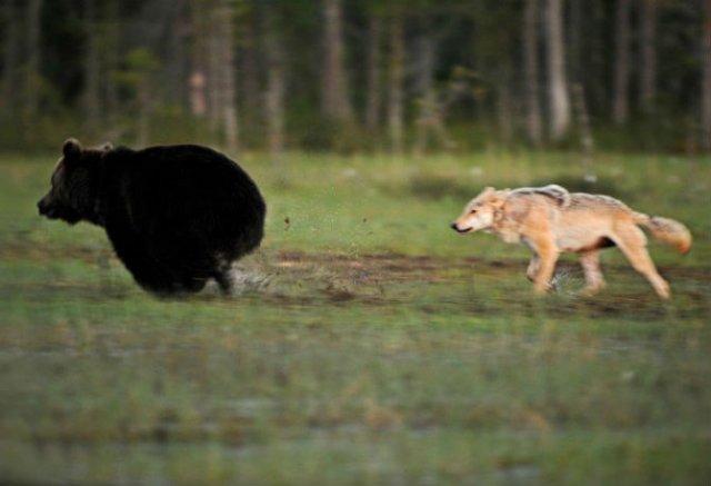 Prietenia dintre un urs si un lup, in 10 poze impresionante - Poza 3