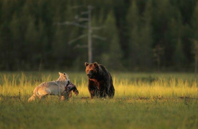 Prietenia dintre un urs si un lup, in 10 poze impresionante - Poza 4