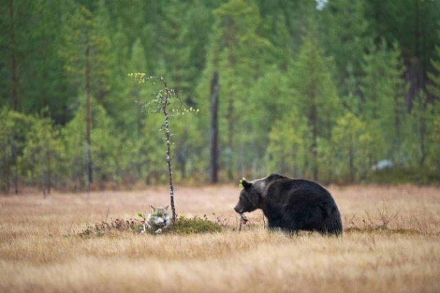 Prietenia dintre un urs si un lup, in 10 poze impresionante - Poza 5