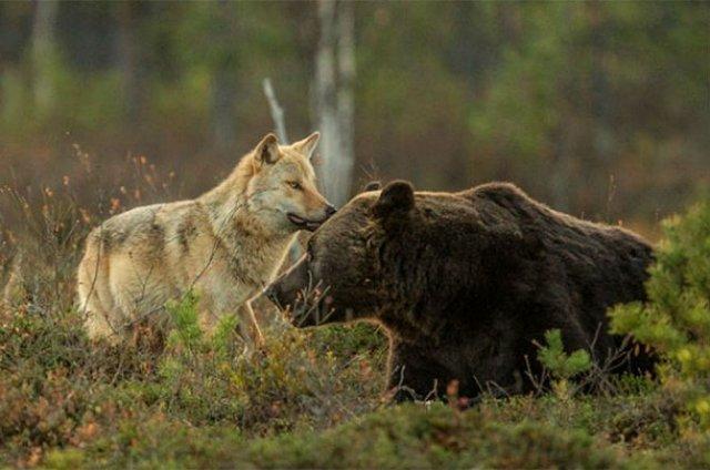 Prietenia dintre un urs si un lup, in 10 poze impresionante - Poza 6