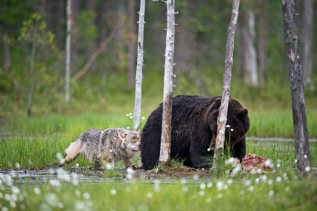 Prietenia dintre un urs si un lup, in 10 poze impresionante - Poza 7