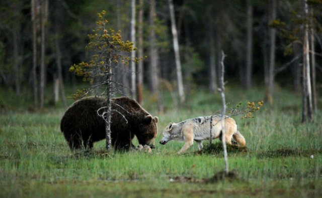 Prietenia dintre un urs si un lup, in 10 poze impresionante - Poza 8