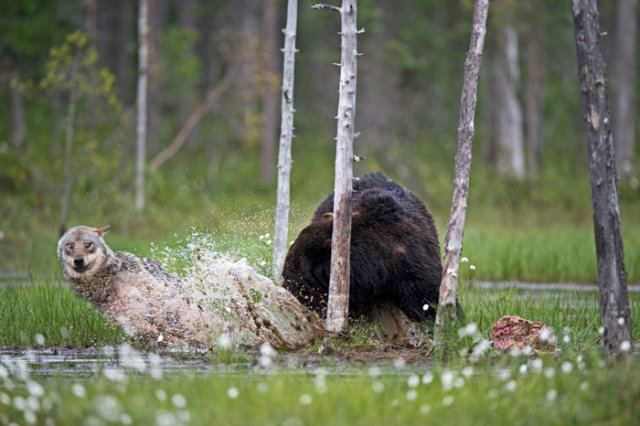 Prietenia dintre un urs si un lup, in 10 poze impresionante - Poza 9