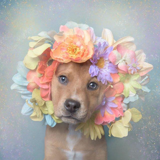 Pit Bull Flower Power: Ipostazele gingase ale cainilor de temut - Poza 11
