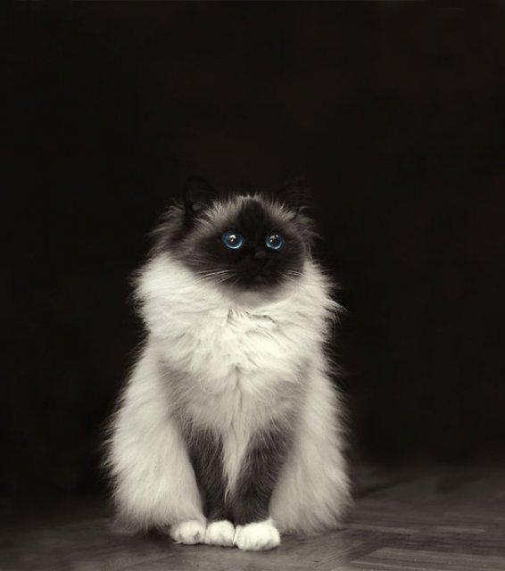 Cele mai pufoase pisici din lume - Poza 3