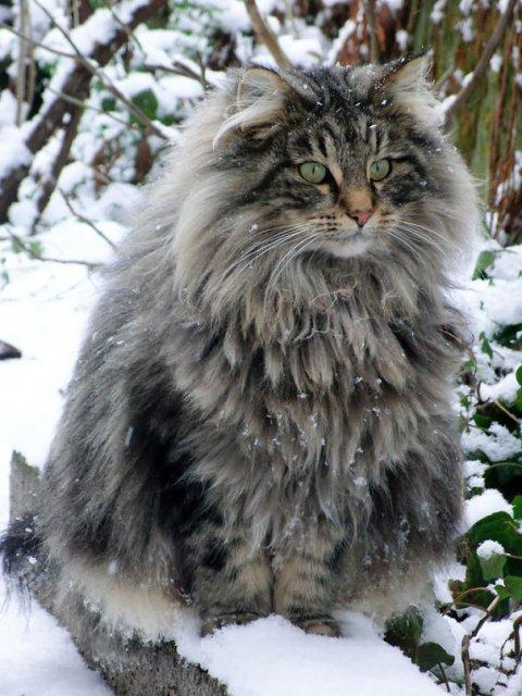 Cele mai pufoase pisici din lume - Poza 5