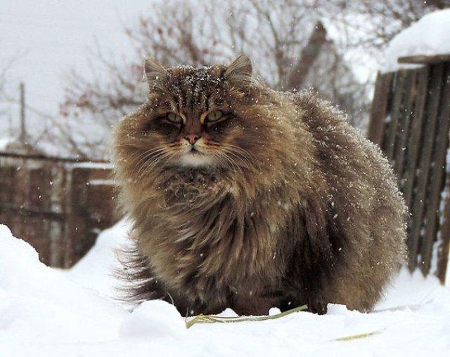 Cele mai pufoase pisici din lume - Poza 7