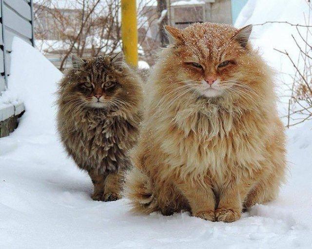 Feline XXL: Cele mai mari pisici din lume - Poza 3