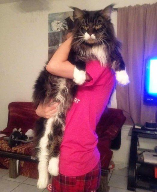 Feline XXL: Cele mai mari pisici din lume