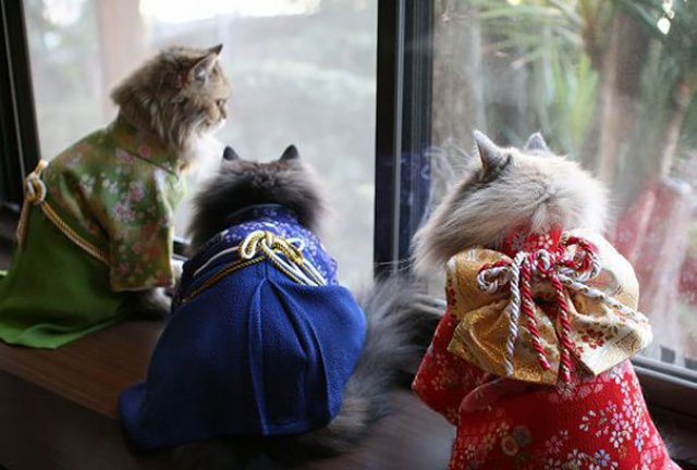 Pisicile in chimonouri fac furori in Japonia - Poza 3