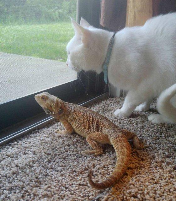 Ciudata prietenie dintre o pisica si o reptila - Poza 3