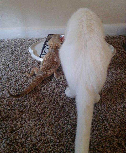 Ciudata prietenie dintre o pisica si o reptila - Poza 7