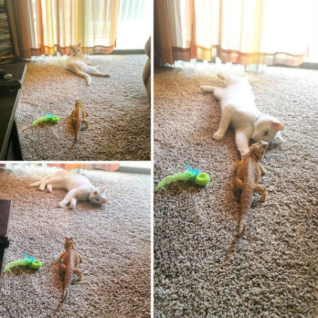 Ciudata prietenie dintre o pisica si o reptila - Poza 6