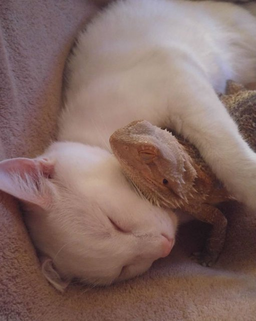 Ciudata prietenie dintre o pisica si o reptila - Poza 2