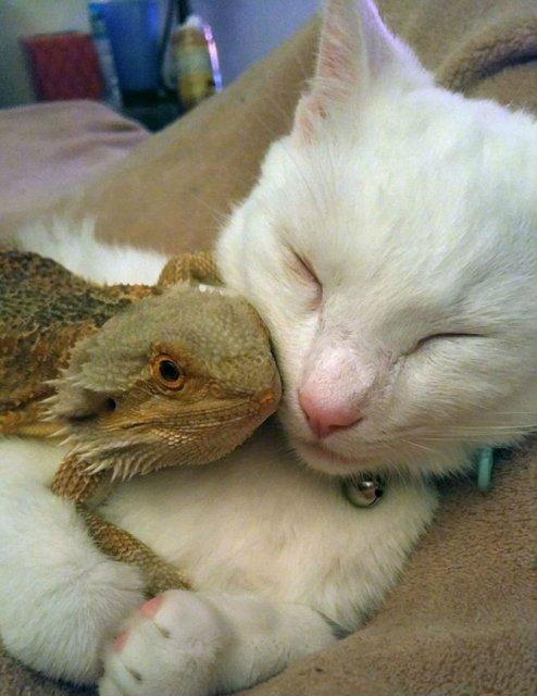 Ciudata prietenie dintre o pisica si o reptila - Poza 5