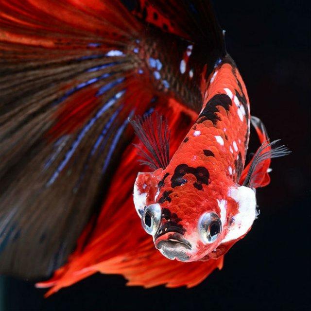 Portrete spectaculoase cu pesti de acvariu - Poza 11