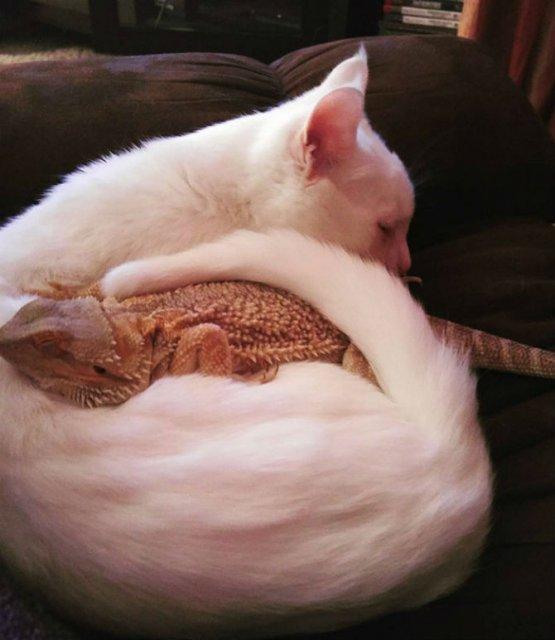 Ciudata prietenie dintre o pisica si o reptila - Poza 4