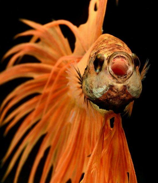 Portrete spectaculoase cu pesti de acvariu - Poza 8
