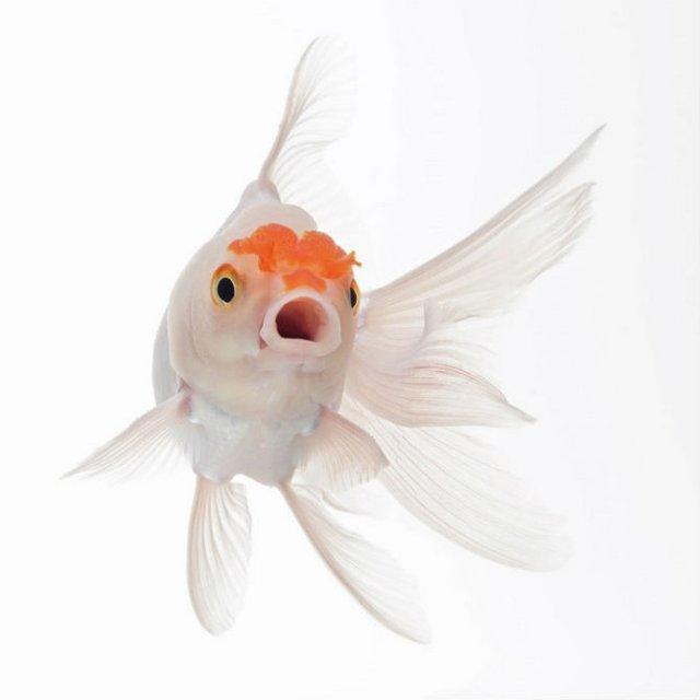 Portrete spectaculoase cu pesti de acvariu - Poza 7