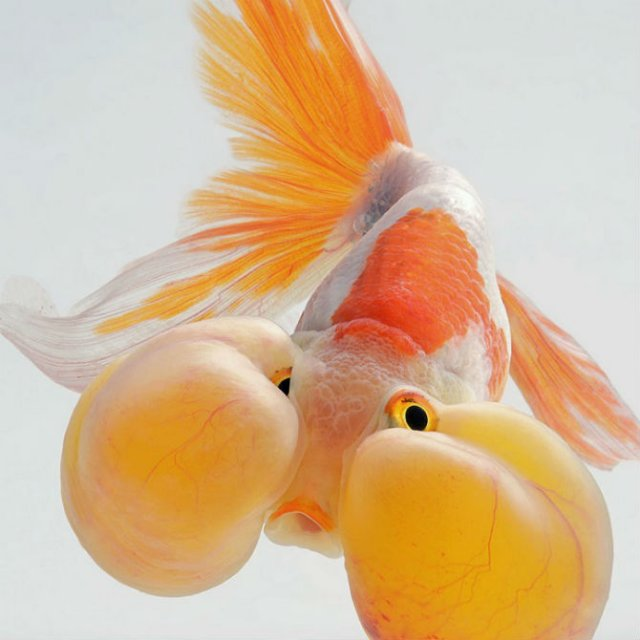 Portrete spectaculoase cu pesti de acvariu - Poza 5