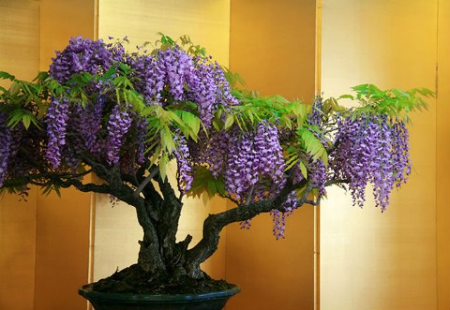 15 Arbori bonsai de o frumusete rara