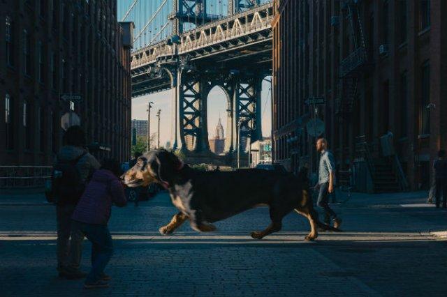 Un teckel urias, pe strazile din Brooklyn - Poza 5