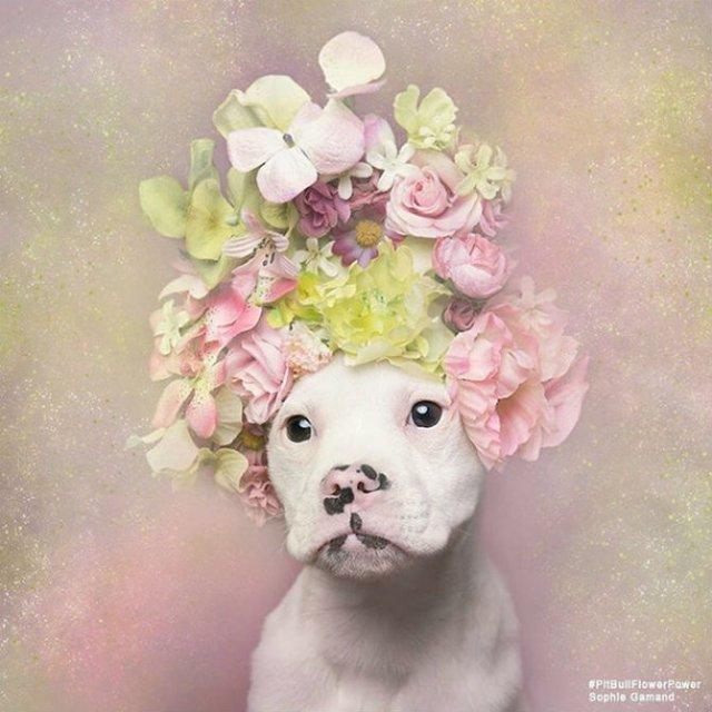 Pit Bull Flower Power: Ipostazele gingase ale cainilor de temut - Poza 5