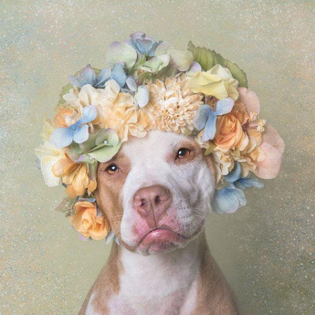 Pit Bull Flower Power: Ipostazele gingase ale cainilor de temut - Poza 7