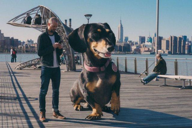 Un teckel urias, pe strazile din Brooklyn - Poza 4