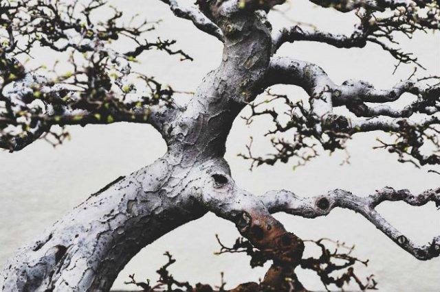 Unicitatea bonsailor, intr-un pictorial superb - Poza 11