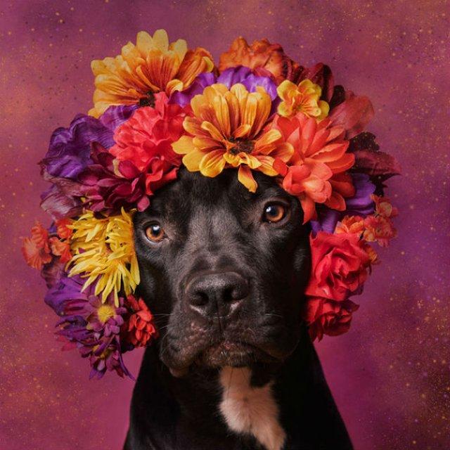 Pit Bull Flower Power: Ipostazele gingase ale cainilor de temut - Poza 2