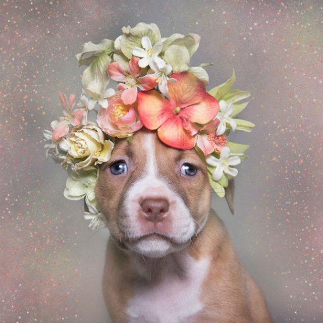 Pit Bull Flower Power: Ipostazele gingase ale cainilor de temut - Poza 3
