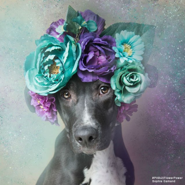 Pit Bull Flower Power: Ipostazele gingase ale cainilor de temut - Poza 4
